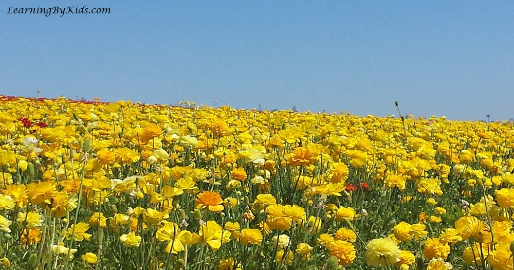 View of The Flower Fields in Carlsbad, California | LearningByKids.com